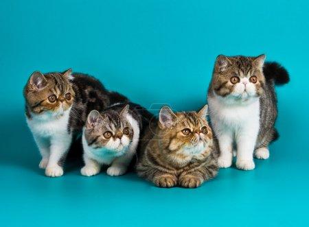 Four breed exotic shorthair kitten