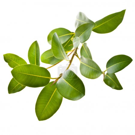 Photo for Ficus branch, rubber plant isolated on white background - Royalty Free Image