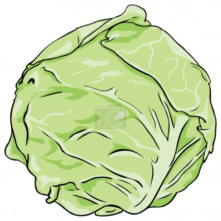 Vector cabbage