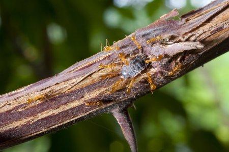 Photo pour Travail d'équipe, fourmis travaillant ensemble . - image libre de droit