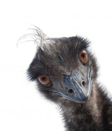 Cute ostrich emu looks from corner isolated on white background