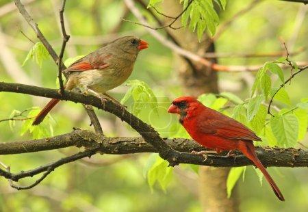 Photo pour Cardinal nord mâle et femelle, Cardinalis cardinalis, perché sur une branche d'arbre - image libre de droit