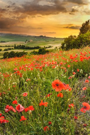 coquelicots dans les collines toscanes avec un beau coucher de soleil, pienza, ita