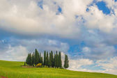 Cypresses on a hill in a summer day