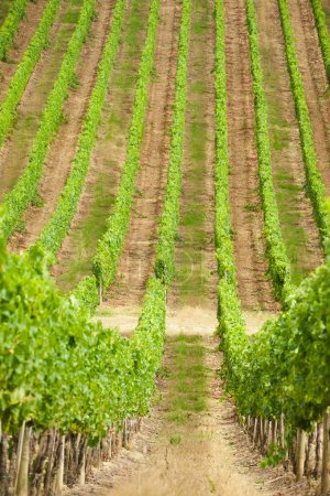 Photo for Beautiful vineyards in Chianti, Italy - Royalty Free Image