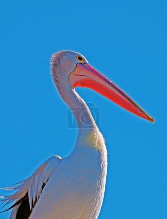 Pelican profile portrait