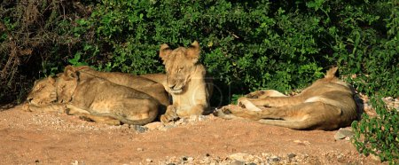 Panoramic view of a family of lions sleeping