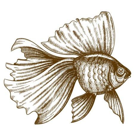 Illustration of engraving goldfish on white background