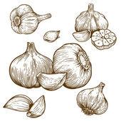 engraving illustration of garlic