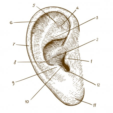 Illustration for Vector illustration of engraving human ear on white background - Royalty Free Image