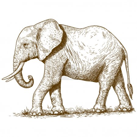 Illustration for Vector illustration of engraving elephant on white background - Royalty Free Image
