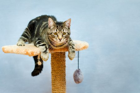 Photo for Tabby cat sits on a cat tower on a blue background - Royalty Free Image
