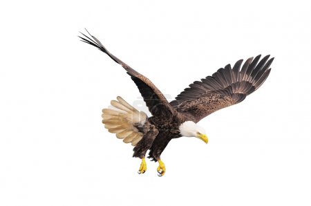 Bald eagle isolated on white background....