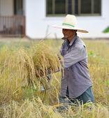 Gazdálkodók szüret rizs rizs mező Thaiföldön