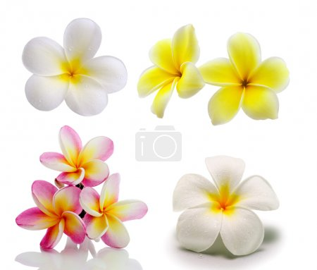Photo pour Fleurs tropicales frangipani (plumeria) isolées sur fond blanc - image libre de droit