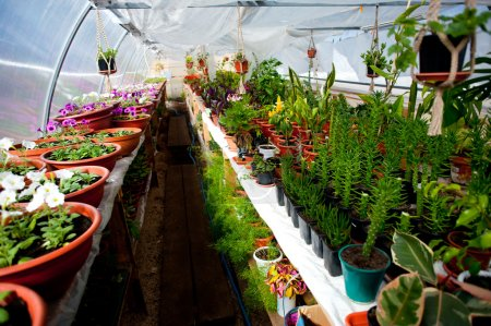 Rows of flowers for sale in a arched greenhouse