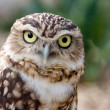 Closeup portrait of a funny Burrowing Owl (Speotyt...