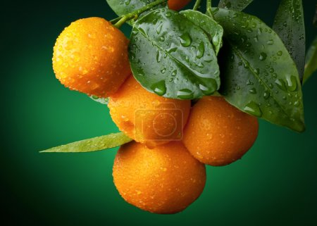 Mandarins branch with water drops on dark green ba...