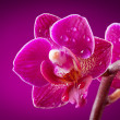 Mini orchid on pink background...