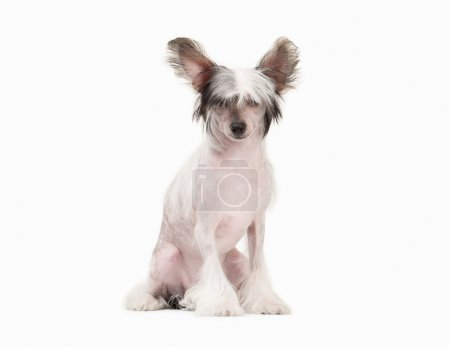 Chinese crested dog puppy on white background