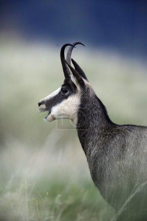 Chamois, Rupicapra rupicapra
