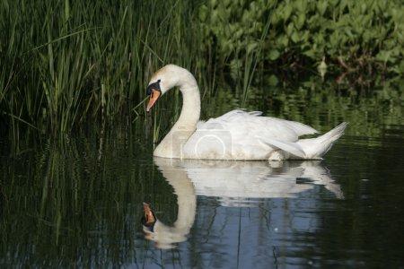 Mute swan ,Cygnus olor