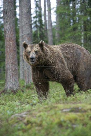 Photo pour Ours brun d'Europe, Ursus arctos arctos, mammifère unique dans les bois, Finlande - image libre de droit