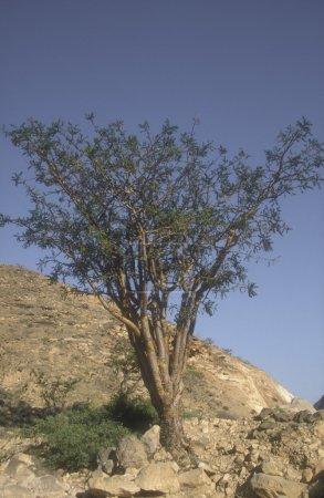 Frankincence tree