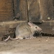 House mouse, Mus musculus, single mammal in shed, ...