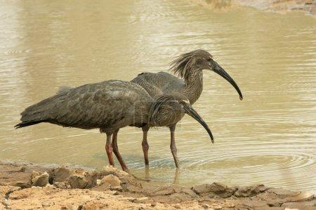 Plumbeous ibis, Theristicus caerulescens