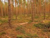 Felling of young trees in pine forest. Cut trunks and branches on the ground.