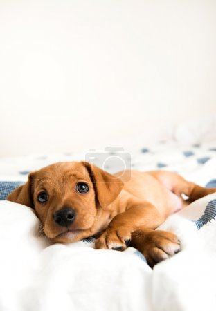 Very Young Dachshund and Hound Mix Puppy
