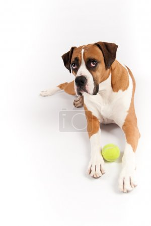 Pretty Dark Fawn Dog Guarding Tennis Ball