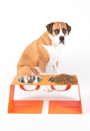 Boxer mélanger le chien avec la nourriture pour chiens