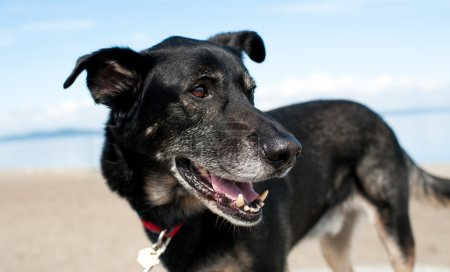 Old Black Shepherd Mix Dog