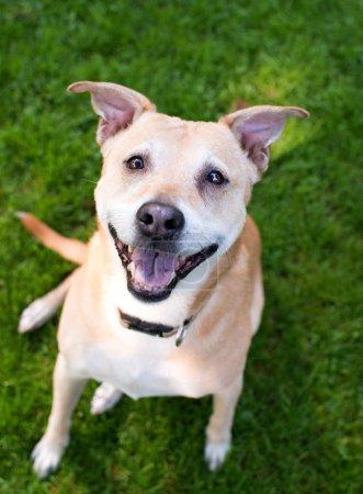 Photo pour Heureux labrador mix Berger à l'extérieur au parc de chien - image libre de droit