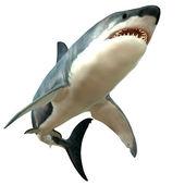 Velký bílý žralok tělo