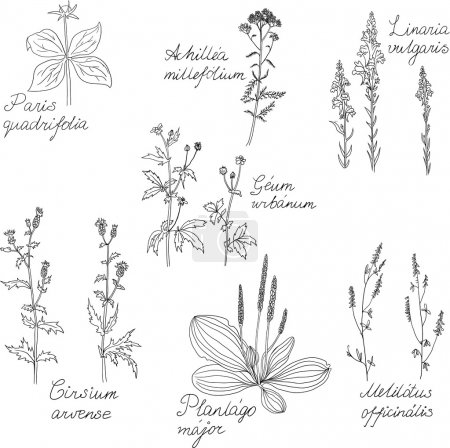 Illustration for Set of line drawing herbs with Latin names, vector illustration - Royalty Free Image