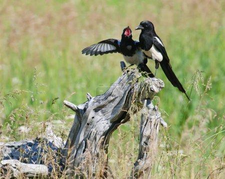 Magpies on Tree Stump