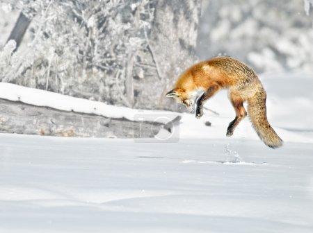 Photo pour Renard roux saute pendant la chasse un jour brumeux d'hiver - image libre de droit