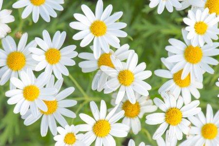 Field of Daisy flowers...