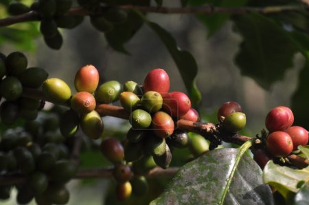 Coffee beans growing on the branch in Chiang Rai,Thailand