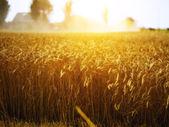 Wheat field at sunset at a dutch farmhouse