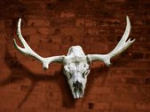 Moose lebka s rohy proti cihlové zdi