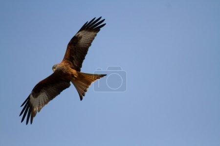 Red Kite - bird of prey