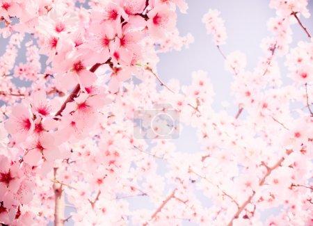 Photo pour Les arbres fruitiers fleurissent un jour de printemps. Des tons pastel - image libre de droit