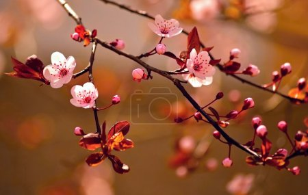 Beautiful flowering Japanese cherry - Sakura.