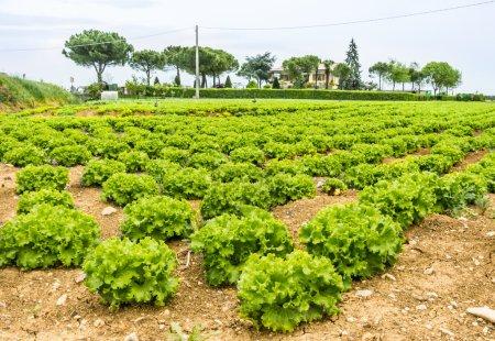 Photo pour Vue panoramique profonde d'un champ de laitue avec des arbres en arrière-plan . - image libre de droit