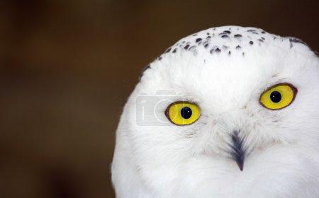 Photo pour Hibou des neiges - Bubo scandiacus - image libre de droit
