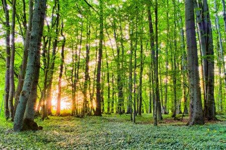 Photo pour Forrest printemps coucher de soleil derrière les arbres. couleurs vertes fraîches. rochers et arbres et végétation sur le sol. belle forêt de Franconie - image libre de droit